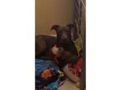 Adopt Gracie a Gray/Blue/Silver/Salt & Pepper American Staffordshire Terrier /