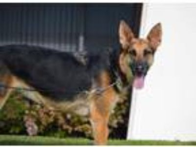 Adopt Bailey a Black - with Tan, Yellow or Fawn German Shepherd Dog / Mixed dog