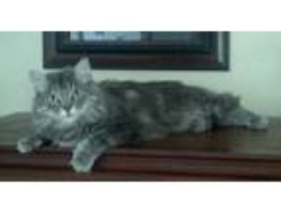Adopt Misa a Gray, Blue or Silver Tabby Domestic Mediumhair / Mixed cat in