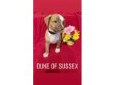 Adopt DUKE OF SUSSEX-A ROYAL DUTCH PUP a Pug, Mixed Breed