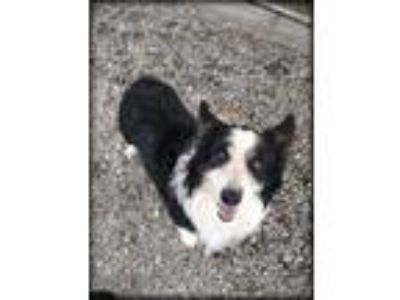 Adopt Borgie a Border Collie, Corgi