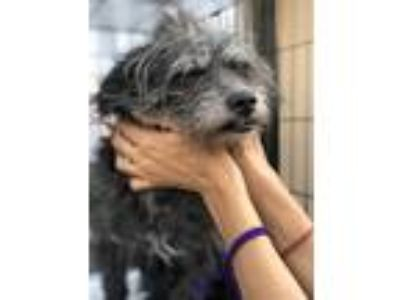 Adopt Felix a Black Cairn Terrier dog in Manhattan, NY (25584162)