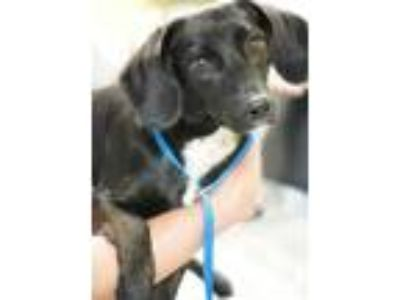 Adopt Luna Sage a Black Beagle / Dachshund / Mixed dog in Philadelphia