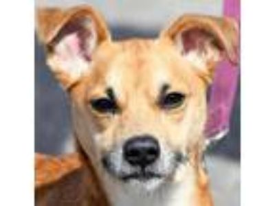 Adopt Fraiser a Tan/Yellow/Fawn - with White Beagle / Basset Hound / Mixed dog