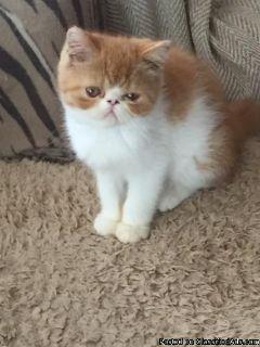 Half Exotic Kittens