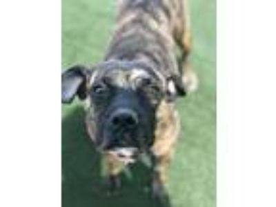 Adopt Maggie a Pit Bull Terrier, Mixed Breed