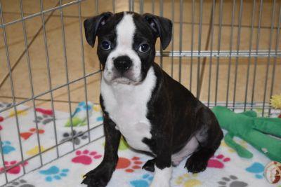 Boston Terrier PUPPY FOR SALE ADN-106610 - Boston Terrier Puppy