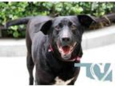 Adopt Juliet a Black Labrador Retriever / Mixed dog in Chicago, IL (25515631)