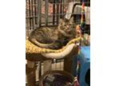 Adopt Sparkles a Brown Tabby Maine Coon cat in Bolton, CT (25584337)