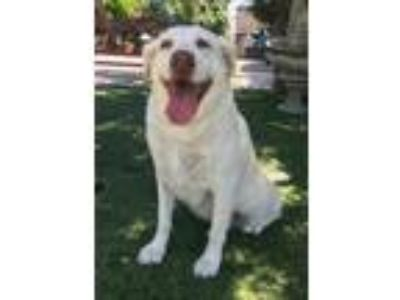 Adopt Willow a Tan/Yellow/Fawn Golden Retriever / Mixed dog in Temecula