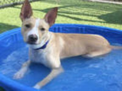 Adopt MRS CHAN a Brown/Chocolate - with White Pointer / Mixed dog in Dallas
