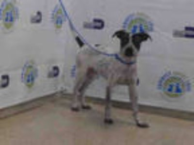Adopt DIESEL a White - with Brown or Chocolate Labrador Retriever / Mixed dog in