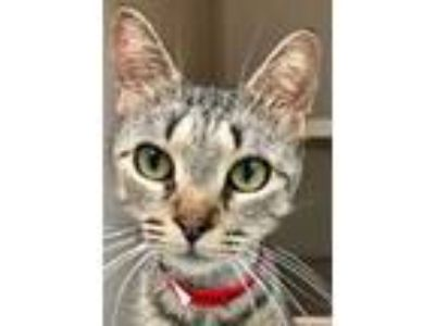 Adopt Triscuit a Brown or Chocolate Domestic Shorthair / Domestic Shorthair /