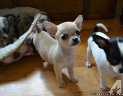 * Beautiful Tiny Pedigree Chihuahua Babies*