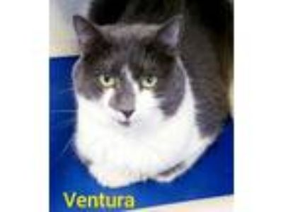 Adopt Ventura a Gray or Blue (Mostly) Domestic Shorthair (short coat) cat in