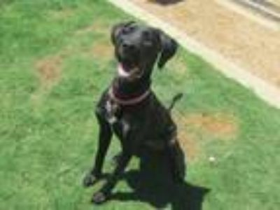 Adopt Rylee A154641 a Great Dane