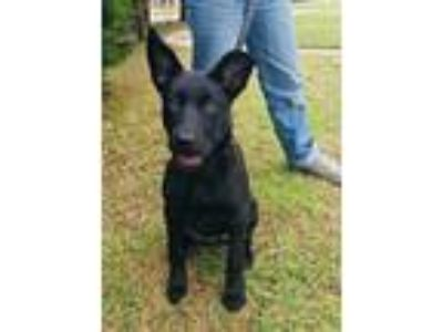 Adopt Bella a Black German Shepherd Dog / Siberian Husky / Mixed dog in haslet