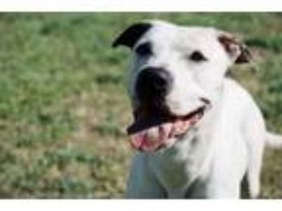 Adopt Christian Bale a White American Pit Bull Terrier / Mixed dog in Spokane
