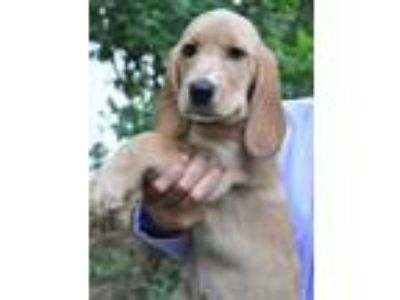 Adopt Riley-Her Adoption is Pending! a Golden Retriever, Bloodhound