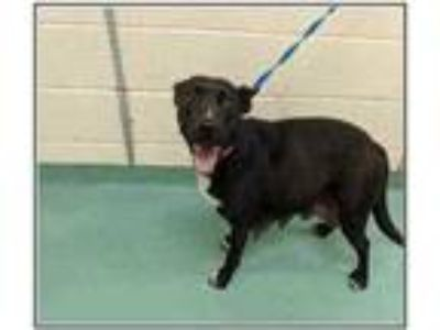 Adopt Norra a Black Labrador Retriever / Mixed dog in Fairfax Station