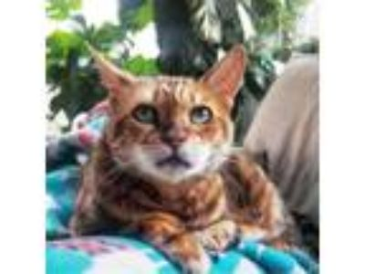 Adopt Razzle Dazzle a Brown or Chocolate Bengal cat in Madison, WI (25327716)