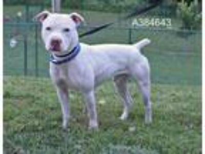 Adopt OLAF a White American Pit Bull Terrier / Mixed dog in St.