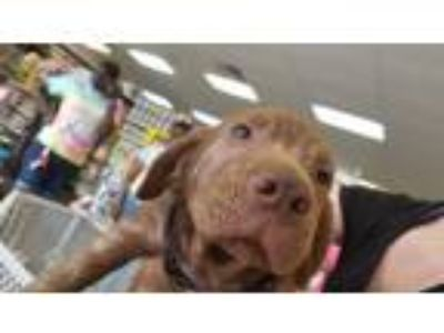Adopt Biggie a Chocolate Labrador Retriever
