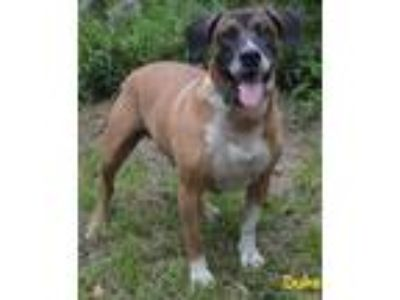 Adopt Duke a Black Mouth Cur, Jack Russell Terrier