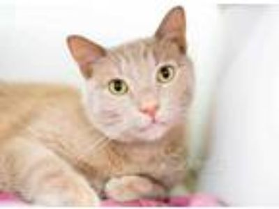 Adopt Tiger a Tan or Fawn Domestic Shorthair / Domestic Shorthair / Mixed cat in