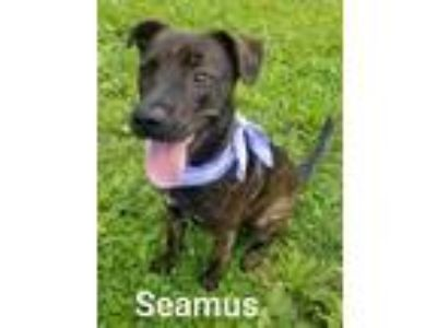 Adopt Seamus a Brindle - with White Labrador Retriever / Terrier (Unknown Type