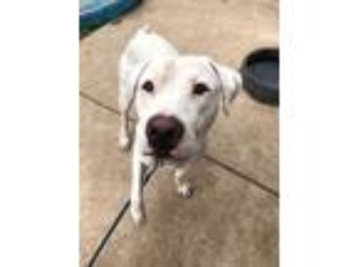 Adopt Cash a White American Pit Bull Terrier / Mixed dog in Fort Worth