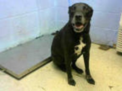 Adopt SQUASH a Black - with White Labrador Retriever / Mixed dog in Atlanta