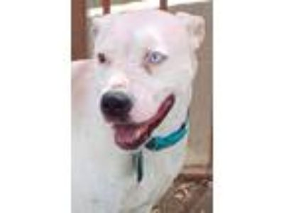 Adopt Blue a American Staffordshire Terrier