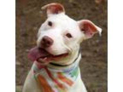 Adopt Sweetums a American Staffordshire Terrier / Mixed dog in Raleigh
