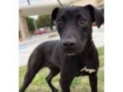 Adopt Willow a Black - with White Labrador Retriever / Mixed dog in Seattle