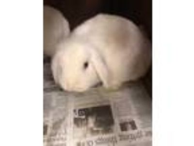Adopt Rose a White Other/Unknown / Mixed rabbit in Cedar Hill, TX (25330249)