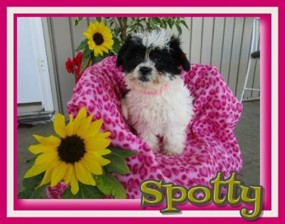 Spotty Female Shih-Chon Teddy Bear