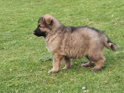 German Shepherd Puppies Kc Reg