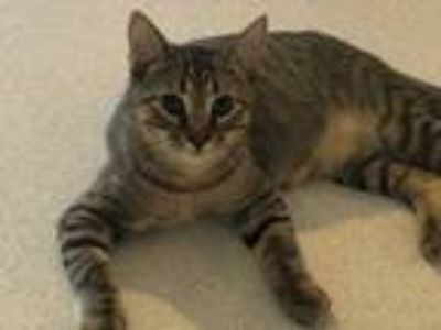 Adopt Tomahawk a Brown or Chocolate Domestic Shorthair (short coat) cat in