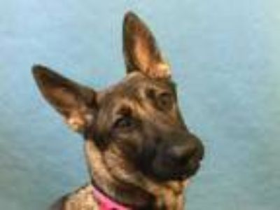 Adopt Bella a Brown/Chocolate German Shepherd Dog / Mixed dog in Golden Valley