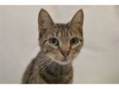 Adopt Diana a Domestic Short Hair