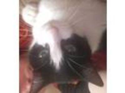 Adopt Balboa a Black & White or Tuxedo American Shorthair / Mixed cat in