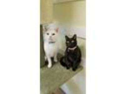 Adopt Pinky a White Domestic Shorthair / Mixed (short coat) cat in Waxhaw
