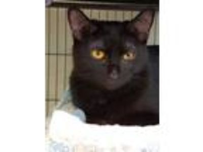 Adopt Binks a All Black Domestic Shorthair / Domestic Shorthair / Mixed cat in