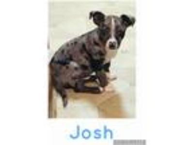 Adopt Josh a Merle Catahoula Leopard Dog / Mixed dog in Waterbury, CT (25339065)