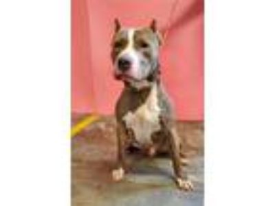 Adopt MOSLEY a Pit Bull Terrier
