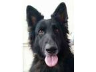 Adopt Ophelia a Black - with Tan, Yellow or Fawn Belgian Shepherd / Mixed dog in