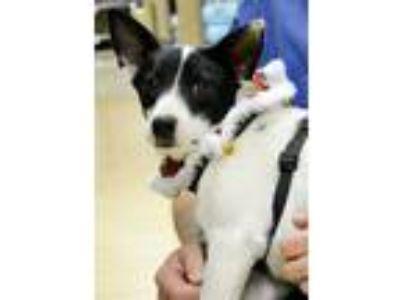 Adopt Meri a Rat Terrier