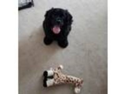 Adopt Lola a Black Cocker Spaniel / Mixed dog in Coldwater, MI (25932619)