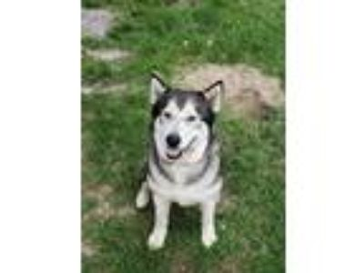 Adopt Crystal Ice a Gray/Silver/Salt & Pepper - with White Alaskan Malamute /